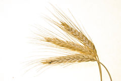 Wheat stem Royalty Free Stock Photography