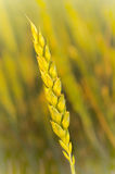 Wheat stem with blurred background Stock Photo