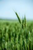 Wheat stem Royalty Free Stock Photography
