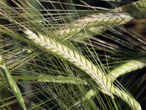Wheat Stem Showing Seeds Royalty Free Stock Images