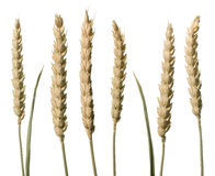 Wheat stems Royalty Free Stock Images