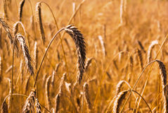 Wheat stems on the field Stock Image