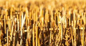 Wheat stems after harvest royalty free stock image