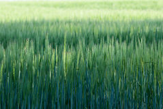 Wheat Stems Isolated Royalty Free Stock Photography