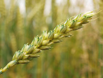 Wheat stems on wheat field. Macro shot Stock Image