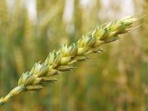 Wheat stems on wheat field Stock Image
