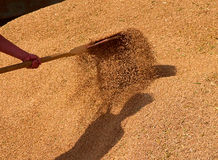 Wheat in stock. Man throws a shovel wheat in stock Royalty Free Stock Photos