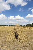 Wheat stooks in corn field at harvest time Royalty Free Stock Images