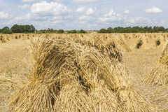 Wheat stooks in corn field at harvest time Stock Photography