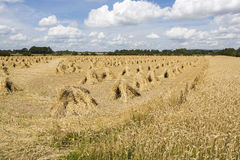 Wheat stooks in corn field at harvest time. Harvest time in the UK.  In the scenic Vale of Pewsey near the village of Marden, Devizes, Wiltshire in south-west Royalty Free Stock Image