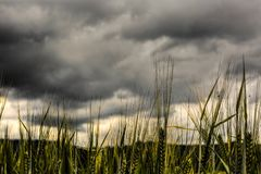 Wheat strands. Against grey cloudy sky Stock Images