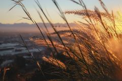 Wheat strands blowing in the wind at sunrise stock image