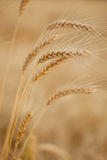 Wheat Straw Royalty Free Stock Photography