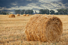 Wheat straw rolls on the field Stock Image
