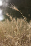 Wheat. Straw of wheat in wheatfield Stock Photography