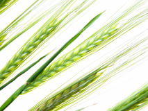 Wheat straws royalty free stock images
