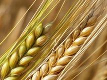 Wheat straws royalty free stock photo