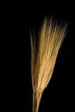Wheat Straws Royalty Free Stock Photos