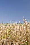 Wheat straws on the blue sky Royalty Free Stock Photo