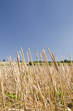 Wheat straws on the blue sky Royalty Free Stock Image