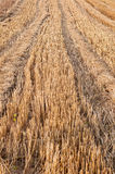 Wheat stubble Royalty Free Stock Image