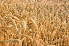 Wheat stubble Royalty Free Stock Photography