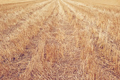 Wheat Stubble Field Royalty Free Stock Image