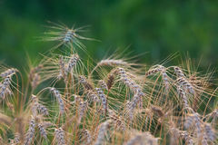 Wheat stubble. On the green background Royalty Free Stock Image