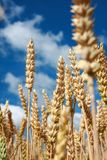 Wheat in summer. Closeup of unripe wheat in summer Royalty Free Stock Images