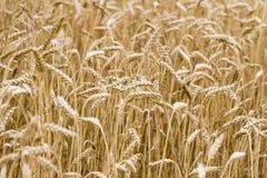 Wheat in summer stock photos