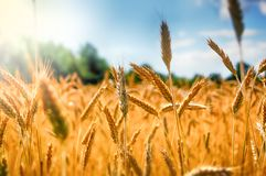 Wheat in Summer Stock Images