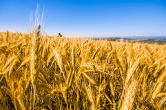 Wheat Summer Field Royalty Free Stock Image