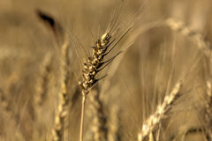 Wheat. Summer field. Stock Photography