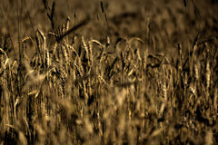 Wheat. Summer field. Royalty Free Stock Image