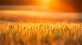 Wheat. A summer wheat field in TN Stock Photos