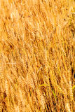 Wheat in summer in Pennsylvania field. Wheat growing in Bucks County Pa outside local farm in summertime royalty free stock photography