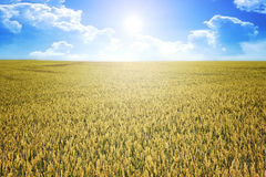 Wheat summer sun Royalty Free Stock Photo