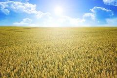 Wheat summer sun Royalty Free Stock Photo