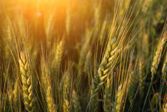 Wheat. On a summer field Royalty Free Stock Photos