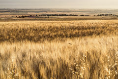 Wheat in summer yellow field Stock Photos