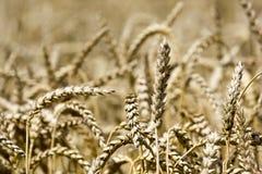 Wheat in the sun Stock Photo