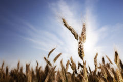 Wheat with sun Stock Photos