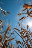 Wheat and sun. Ears of corn with blue sky Stock Photography