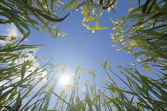 Wheat and Sun Royalty Free Stock Images