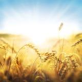 Wheat and sun Stock Photos