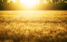 Wheat and sun Stock Photo