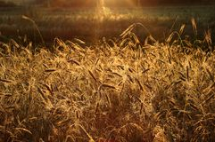 Wheat in the sun's beams Royalty Free Stock Image