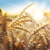 Wheat and sun Stock Image