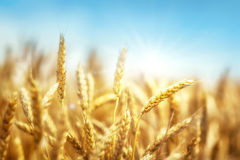 Wheat and sun Stock Photography