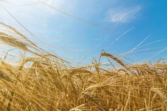 Wheat and sun under blue sky. Agriculture Royalty Free Stock Image